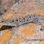 Makgabeng Dwarf Gecko (Lygodactylus nigropunctatus nigropunctatus) © Dorse