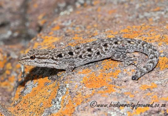Makgabeng Dwarf Gecko (Lygodactylus nigropunctatus nigropunctatus)