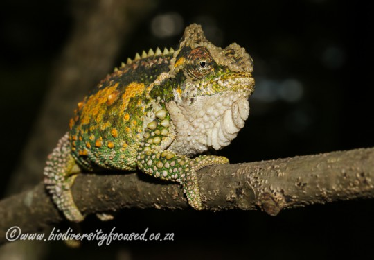 Midlands Dwarf Chameleon (Bradypodion thamnobates)