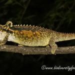 Midlands Dwarf Chameleon (Bradypodion thamnobates) © Dorse
