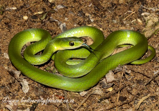 Southeastern Green Snake (Philothamnus hoplogaster)