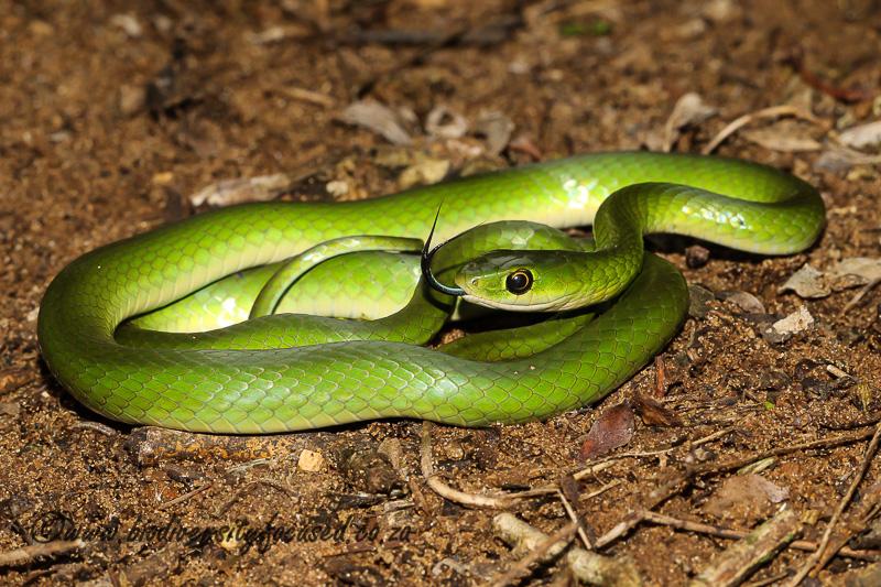 Southeastern Green Snake (Philothamnus hoplogaster) © Dorse