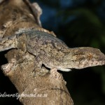 Wahlberg's Velvet Gecko (Homopholis wahlbergii) © Dorse