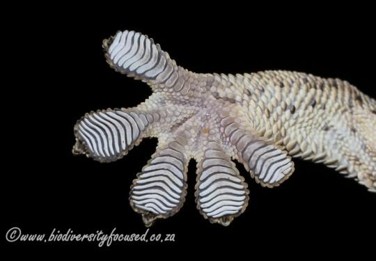 Wahlbergs Velvet Gecko (Homopholis wahlbergii)