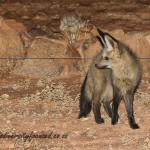 Bat-eared Fox (Otocyon megalotis) © Dorse
