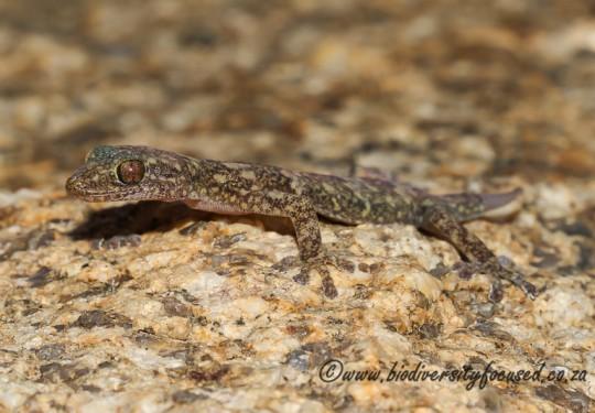 Namaqua Flat Gecko (Afroedura namaquensis)