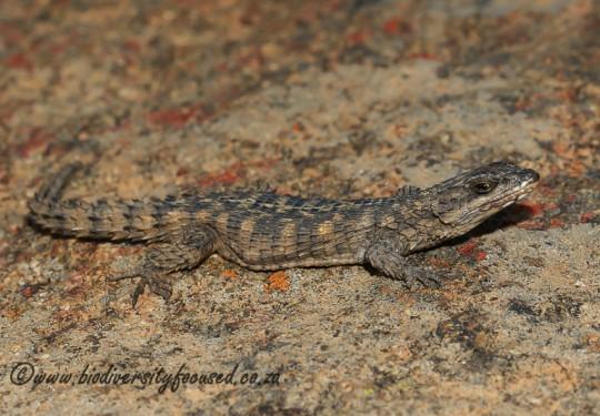 Rooiberg Girdled Lizard (Cordylus imkeae)