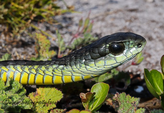Boomslang (Dispholidus typus typus) - Male