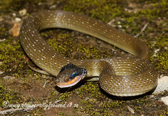 Red-lipped Snake (Crotaphopeltis hotamboeia)
