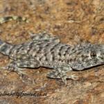 Common Namib Day Gecko (Rhoptropus afer) © Dorse