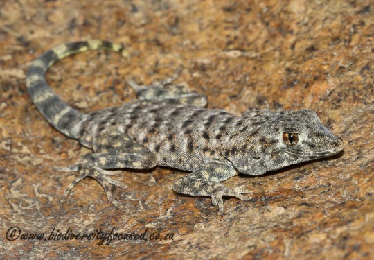 Common Namib Day Gecko (Rhoptropus afer)