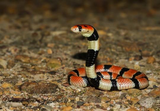 Coral Shield Cobra (Aspidelaps lubricus lubricus)