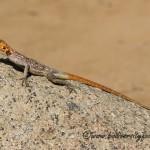 Namibian Rock Agama (Agama planiceps) © Dorse