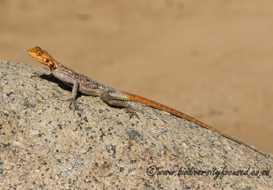 Namibian Rock Agama (Agama planiceps) - Female