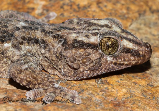 Turners Gecko (Chondrodactylus turneri)