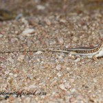 Wedge-snouted Skink (Trachylepis acutilabris) © Dorse