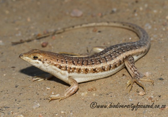 Wedge-snouted Skink (Trachylepis acutilabris)