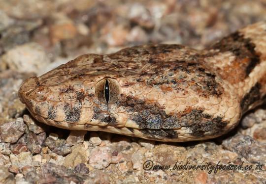 Western Keeled Snake (Pythonodipsas carinata)