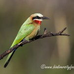 White-fronted Bee-eater (Merops bullockoides) © Dorse