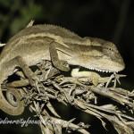 Kentani Dwarf Chameleon (Bradypodion kentanicum) © Dorse