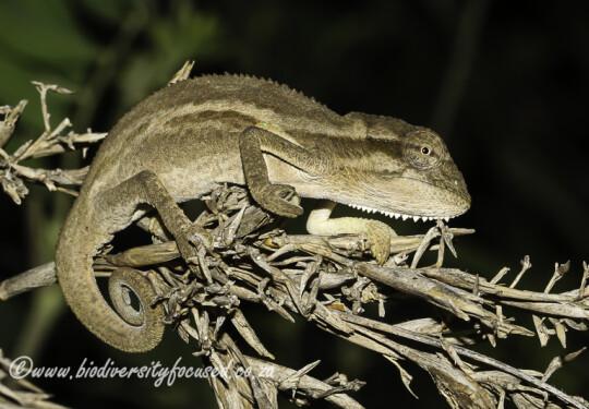 Kentani Dwarf Chameleon (Bradypodion kentanicum)